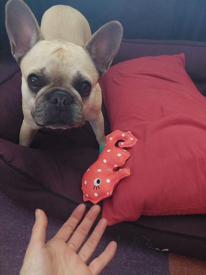 Ein Hund schaut den Betrachter an. Es ist eine Französische Bulldogge. Eine Hand greift nach einem Spielzeug.